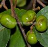 非洲臀果木提取物